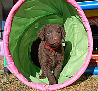naira curly coated retriever